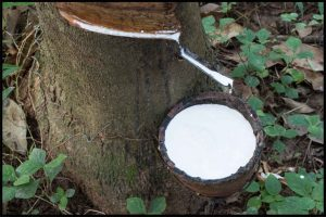capturing-natural-latex-from-tree